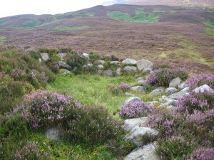 Heather in Glen Mhor, by Schiehallion